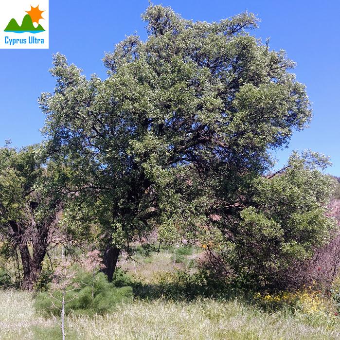 Hawthorn Trees Cyprus CYPRUS ULTRA MARATHON TRAIL RUNNING RACE